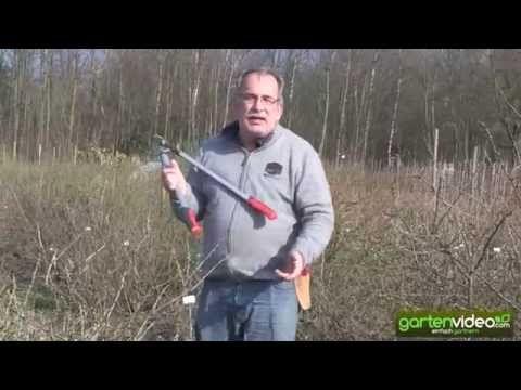 Wie schneide ich eine Stachelbeere
