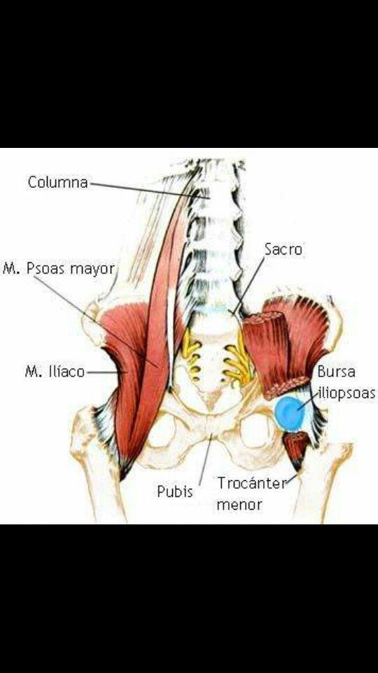 21 besten Psoas Bilder auf Pinterest | Physiotherapie, Yoga anatomie ...
