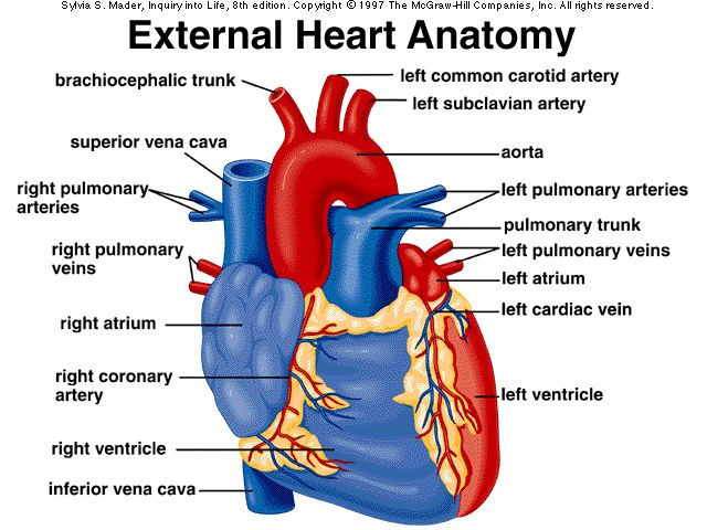 External Anatomy Of Heart Ap 2 Pinterest Anatomy Heart