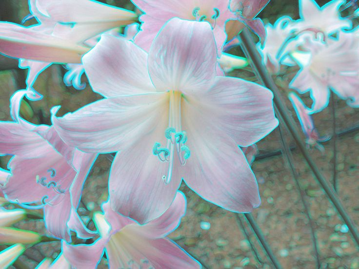 March Lily