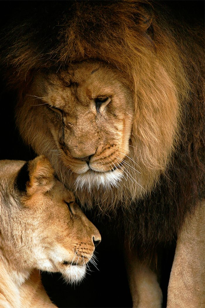 Lion Love, Pair of African Lions at Artis - Limited Edition Fine Art Photography by Stephen W. Oachs