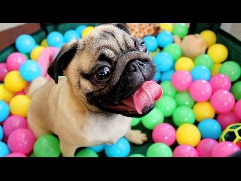Meet Grover. He's an adorable pug that has never been in a ball pit before.   Watch This Adorable Pug Go Bonkers During His First Time In A Ball Pit