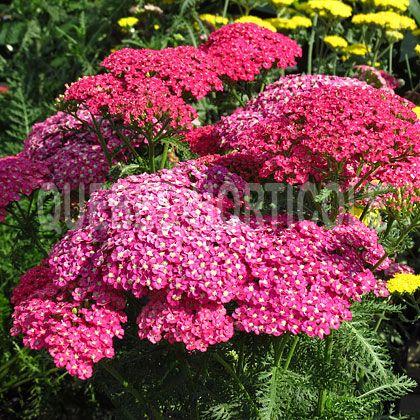 image de Achillea millefolium Saucy Seduction