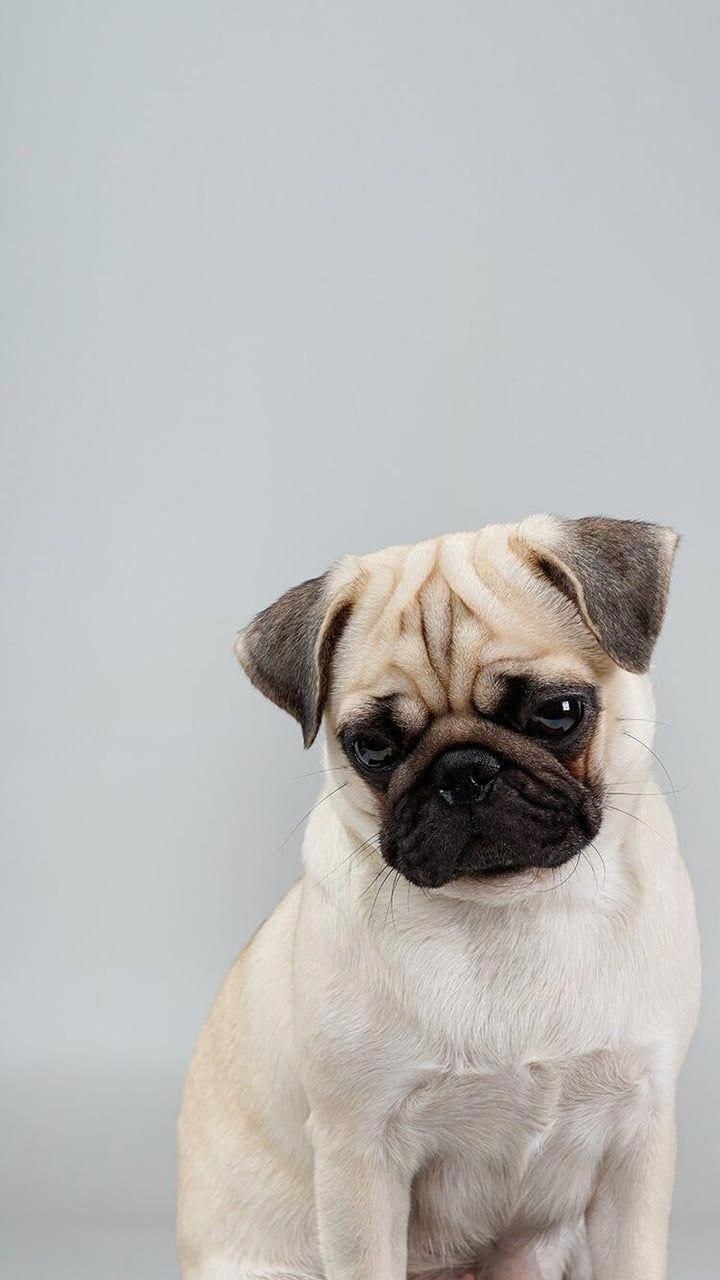 See Our Site For Additional Information On Pug Puppies It Is An