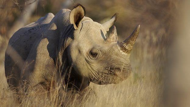Declaran extinto al rinoceronte negro de Mozambique