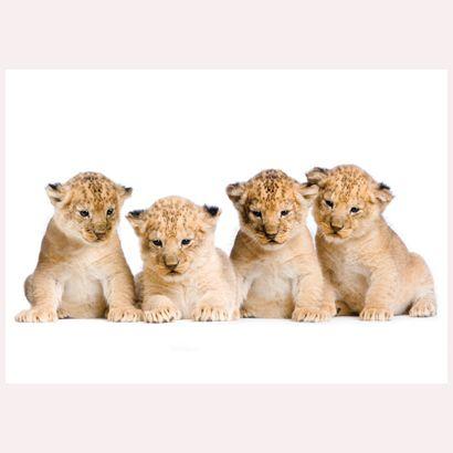 Lion Cubs #postcards