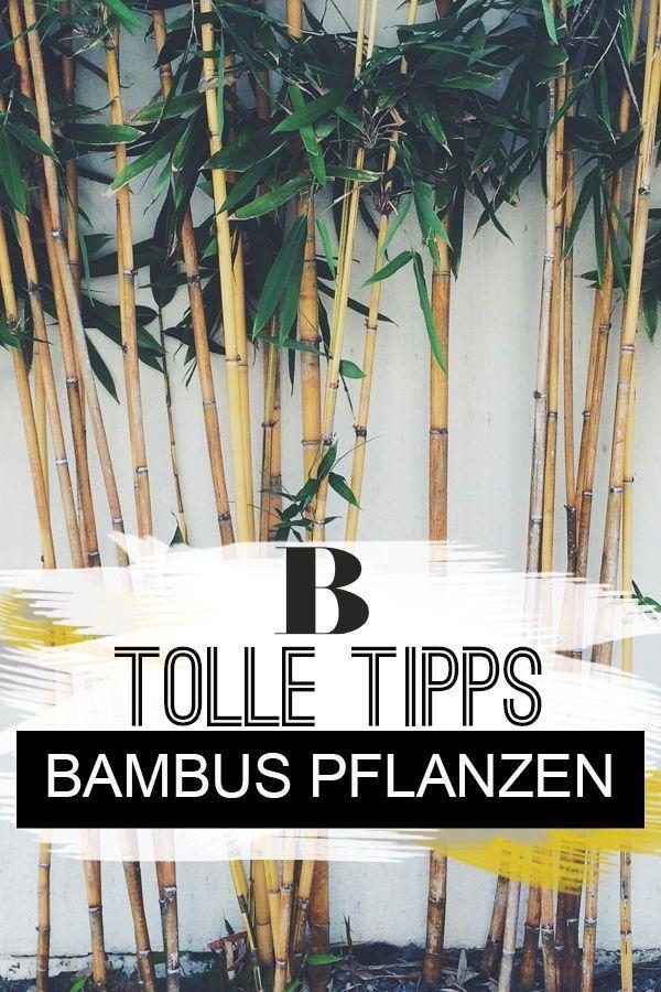 Bambus pflanzen und pflegen darauf kommt es an Bambus