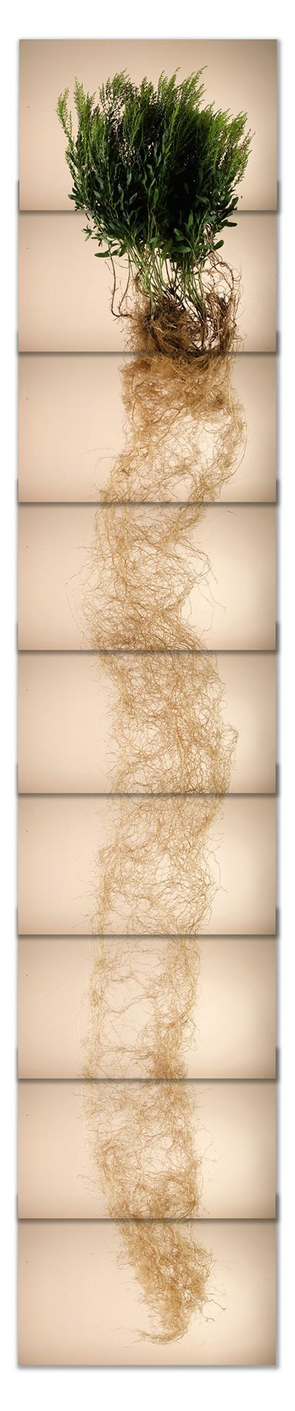 Vertical panorama of a Missouri Goldenrod grass plant and its long root structure