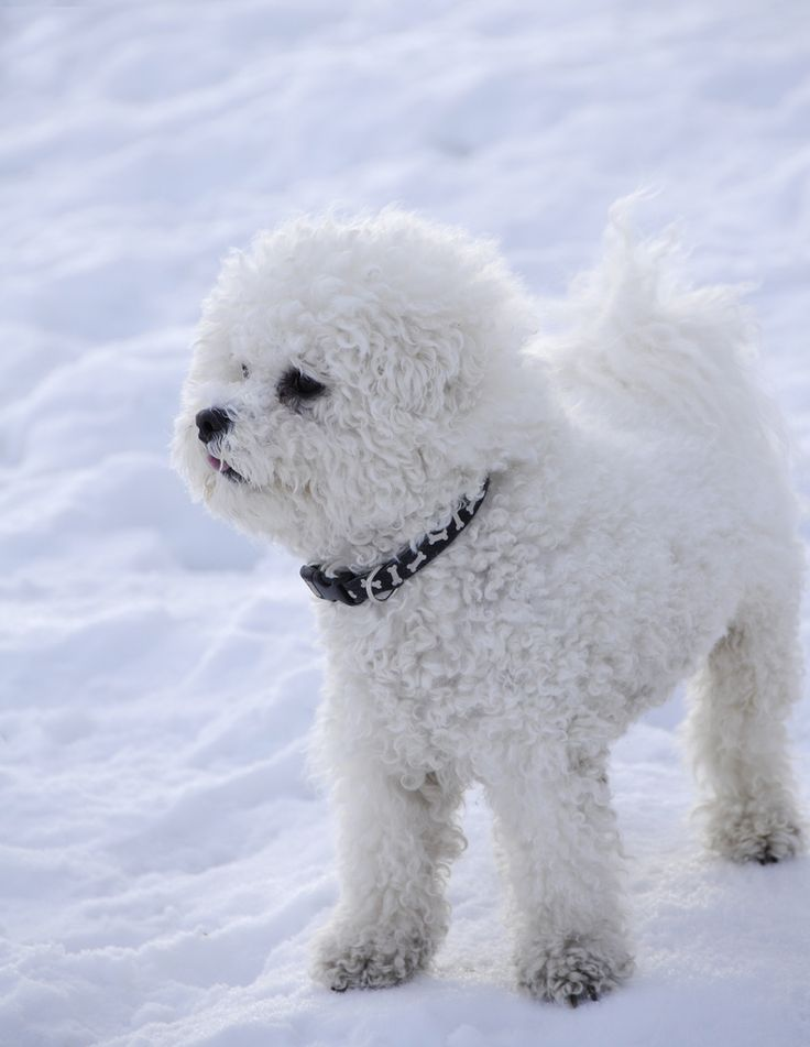 Bichon Frise in Snow