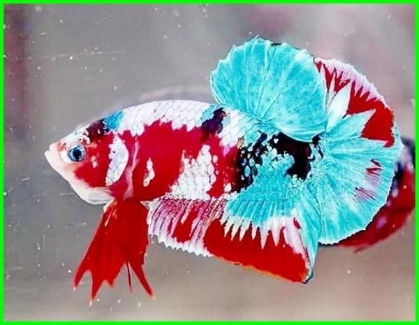 Nama Jenis Ikan Cupang Plakat Beserta Gambar Dan Harganya Daftarhewan Com Di 2020 Ikan Cupang Ikan Ikan Tropis
