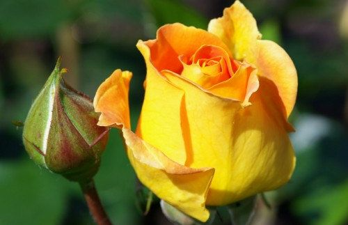 Heirloom 100 SEEDS Yellow Roses Rose Cheerful Joy by seedsshop, $1.79