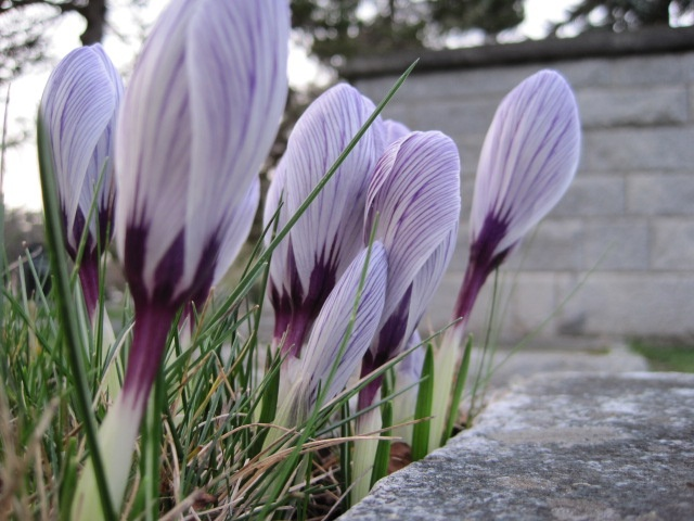 Early spring crocuses  Photo by M.Maskowitz