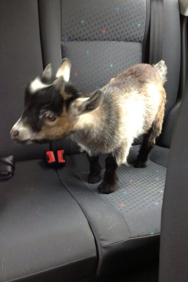 Mini goat!!!! i think my micro mini pig shall want a little friend