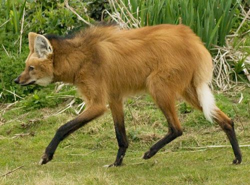 гривистый волк - Поиск в Google