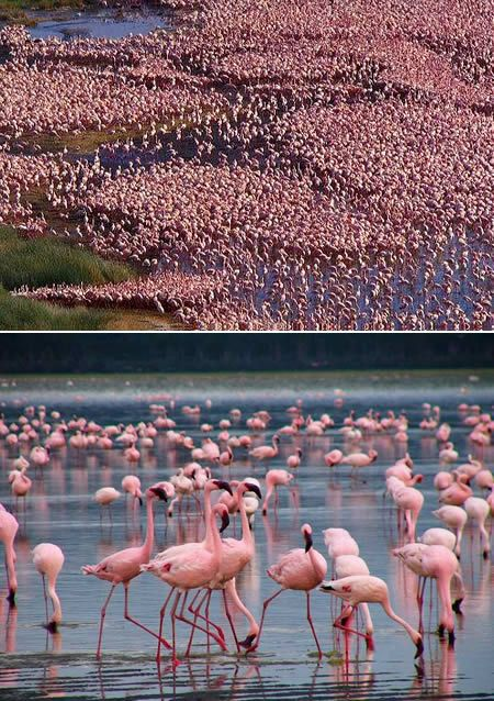 Nakuru National Park, Kenya (and the million pink flamingos there!): Buckets Lists, Pink Flamingos, Pink Colors, Lakes Nakuru, Wonder Places, National Parks, Nakuru National, Photo, Animal
