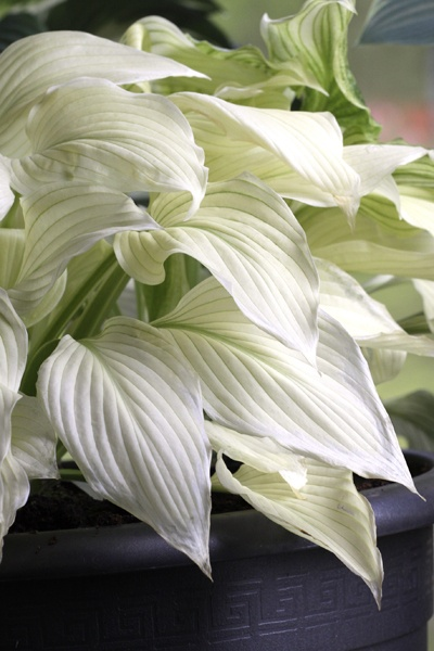 Hosta White Feather (Hosta) En unik sort med helt vita unga blad som övergår i ljusgrönt. De ljusa bladen trivs bra i sol och lätt skugga i något fuktighetshållande, näringsrik jord. Odlas i rabatt eller kruka. Får ljust blålila blommor i juli-augusti. Gillas inte av rådjur. Kan odlas i hela landet på en väldränerad, skyddad plats. Höjd ca 90 cm.