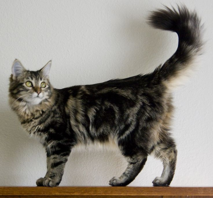 Maine Coon Cat: Pictures, Personality, and How to Care for Your Maine Coon Cat