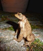 Hilfe für die Erdkröten in Lorsch http://www.morgenweb.de/region/bergstrasser-anzeiger/lorsch/rettungsaktion-fur-wandernde-erdkroten-1.3183786
