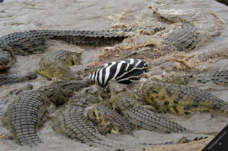 Nile Crocodile Attacks   Nile+crocodiles+attacking+a+zebra.jpg