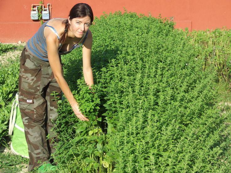 La raccolta della #Melissa - Harvesting #Lemonbalm https://sites.google.com/site/lizfattoriadelleerbe/coltivazione-erbe-fiori-eduli