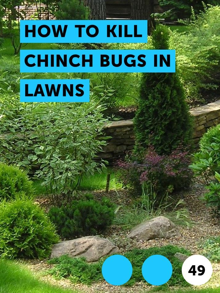 How to Kill Chinch Bugs in Lawns. Although your lawn can develop brown or yellow dead patches for a number of reasons, during the spring months, ...