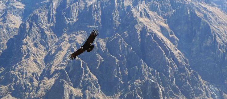 Flyvende andeskondor i Colca Canyon i Peru