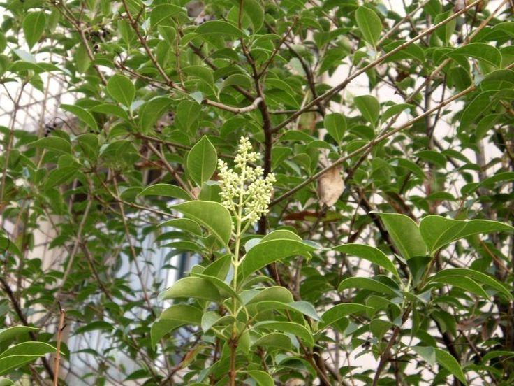Ligustrum lucidum-Aligustre lustroso-Ligustrina-Ligustro