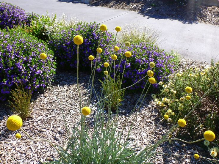 Best native flowers for cut flowers: Pycnosorus globosus - billy buttons