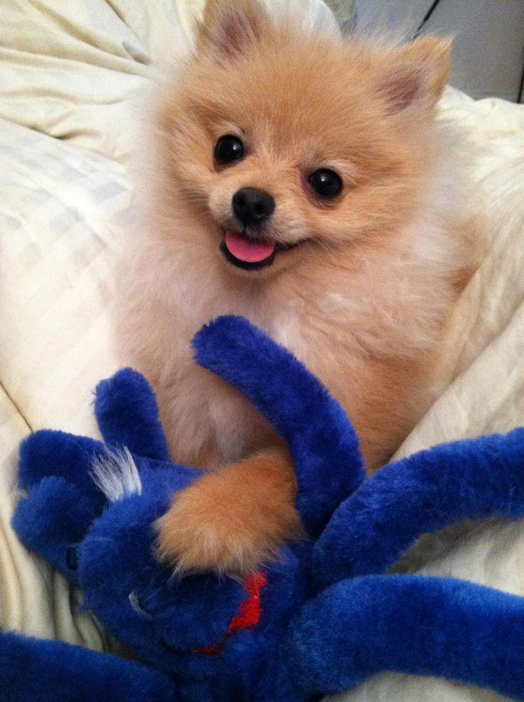 Puff the Pomeranian