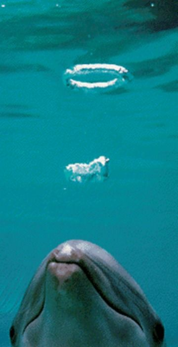 Cetaceans, such as beluga whales and dolphins, blow bubble rings. Dolphins sometimes engage in complex play behaviours, creating bubble rings on purpose, seemingly for amusement.