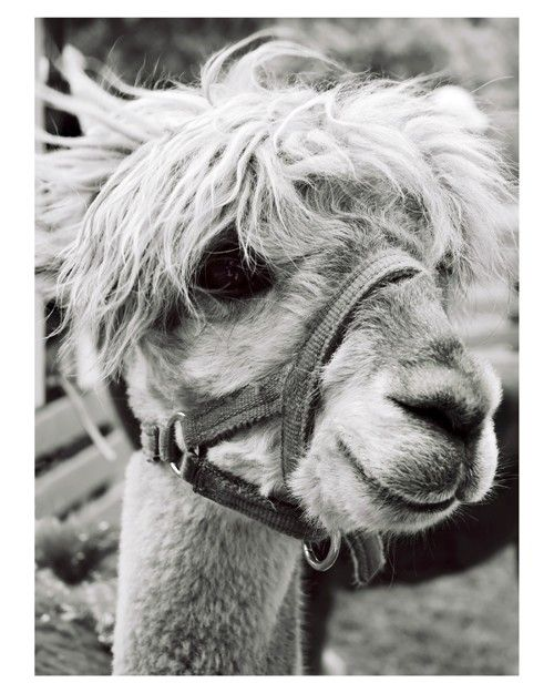 Best 25 Baby Llama Ideas On Pinterest: 25+ Best Ideas About Llama Face On Pinterest