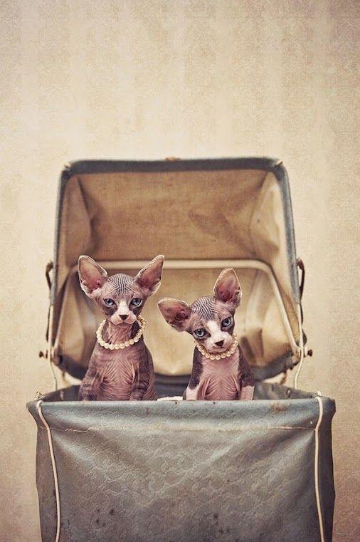 Sphynx Cats  ~  Serena Hodson