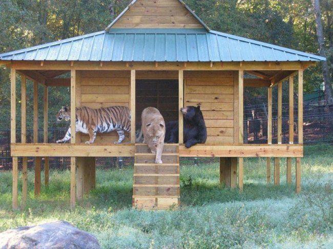 BLT – это единственное в мире трио, состоящее из медведя, льва и тигра, которые живут в одном вольере. В 2001 году Балу, американский черный медведь, Лео, африканский лев, и Шер-Хан, бенгальский тигр, были обнаружены в подвале дома в Атланте во время рейда по поиску наркотиков, проводимого сотрудниками полиции. В течении нескольких месяцев, все три детеныша были напуганы, истощены и инфицированы внутренними и внешними паразитами.