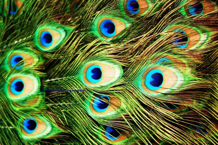 picture of a peacock bird