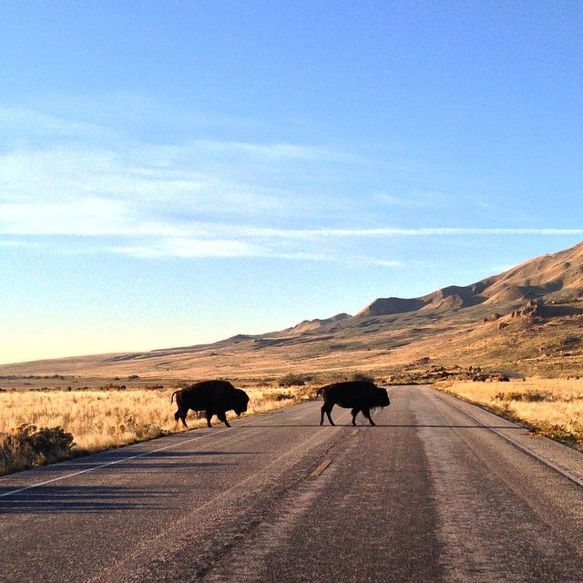 There are stranger things in Utah than antelope slowing down traffic. Photo courtesy of byualumnus on Instagram.