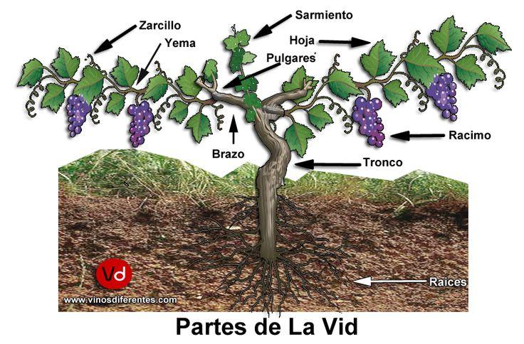 La #vid es un arbusto trepador que pertenece a la familia de las vitáceas y al género vitis. La #vitis #vinífera es la especie más importante poblando la práctica totalidad de los viñedos de todo el planeta. Existen otras especies menos conocidas y de las que también puede obtenerse mosto -aunque de baja calidad-, por ejemplo, la vitis lambrusca. En esta entrada vamos a explicar la morfología de la vid, la auténtica protagonista del mundo del vino. #Vino, #winelovers, #wine, #infografía