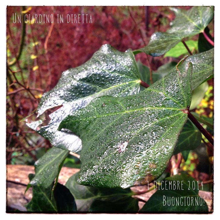 in diretta dal giardino: l'edera (hedera helix) sotto la pioggia, buongiorno giardinieri! #giardino #foglie #giardinoindiretta