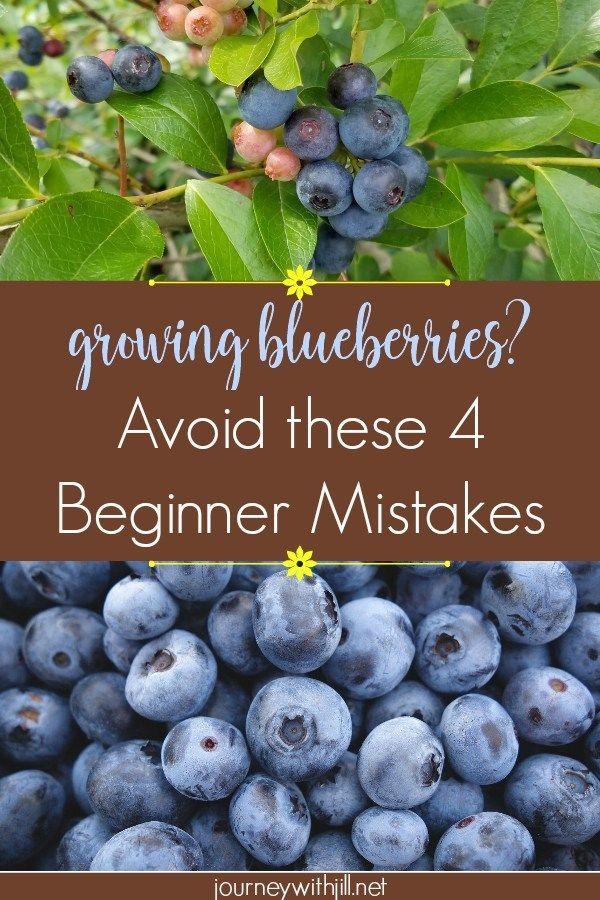 Growing Blueberries Avoid These Beginner Mistakes Growing Blueberries Blueberry Gardening Blueberry Bushes