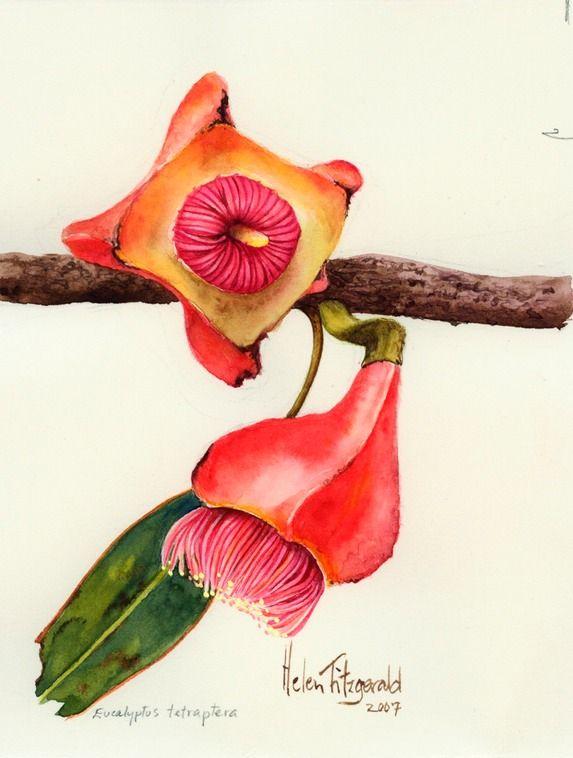 Eucalyptus tetraptera - Helen Fitzgerald