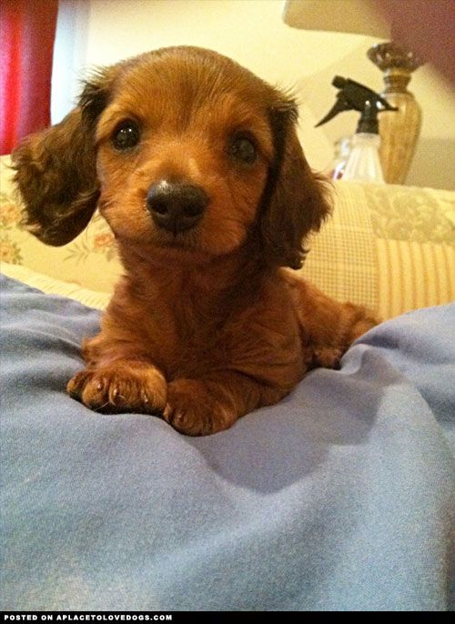 Adorable dachshund puppy