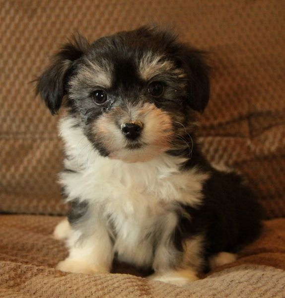 Havanese Puppies - with Video