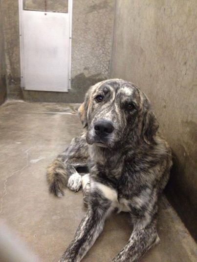 Mastiff mix male 2-3 years old. Kennel A20 AVAILABLE NOW!! HE IS GORGEOUS!!! $51 TO ADOPT. All dogs are urgent here! Fosters are badly needed! For out of state adoption info please PM the group ASAP! Dogs are not kept long here unfortunately. Odessa TX Animal Control. https://www.facebook.com/speakingupforthosewhocant/photos/a.248402621850650.69312.248355401855372/755615727796001/?type=1&theater
