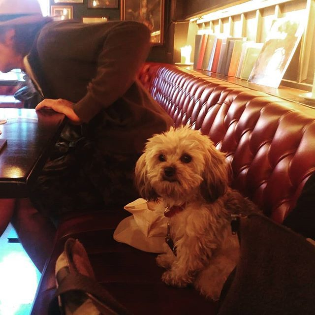 This Little Fella Sat Next To Me At The Pub His Name Is Mr Frodo I Told Him How Lucky I Was That He Sat Next To Me Cute Dog