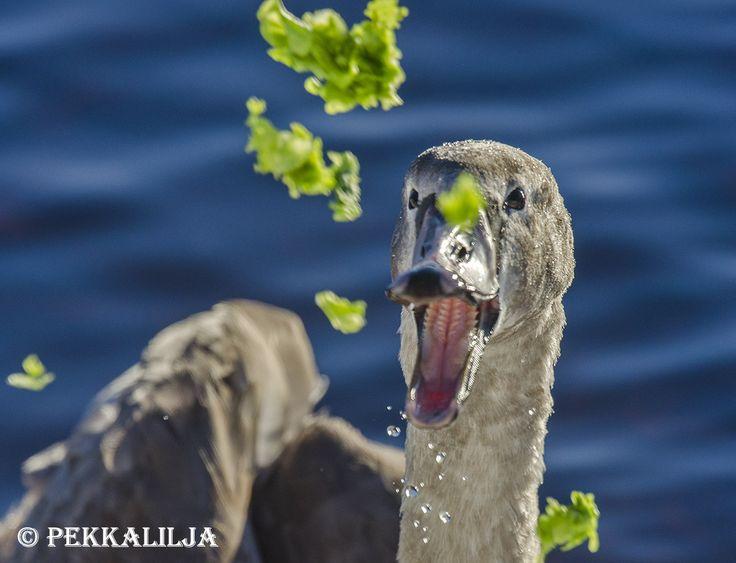 Kyhmyjoutsen syö salaattia - Mute swan eating