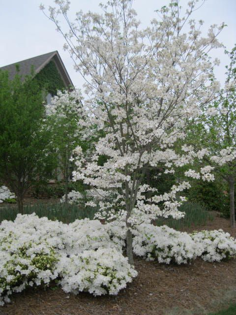 I love a dogwood tree with azaleas planted around it's base.