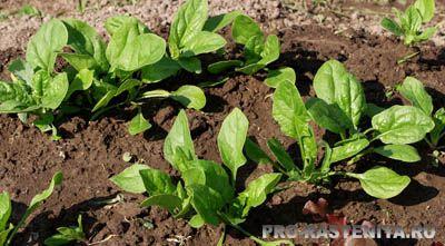 Как вырастить шпинат Выращивание шпината