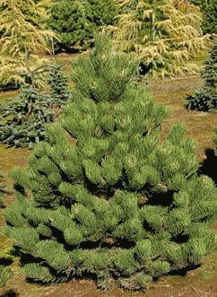 1000 Images About Pinus On Pinterest Trees Miniature