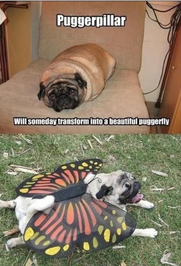 One day Puggerpillar will transform into a beautiful Puggerfly!