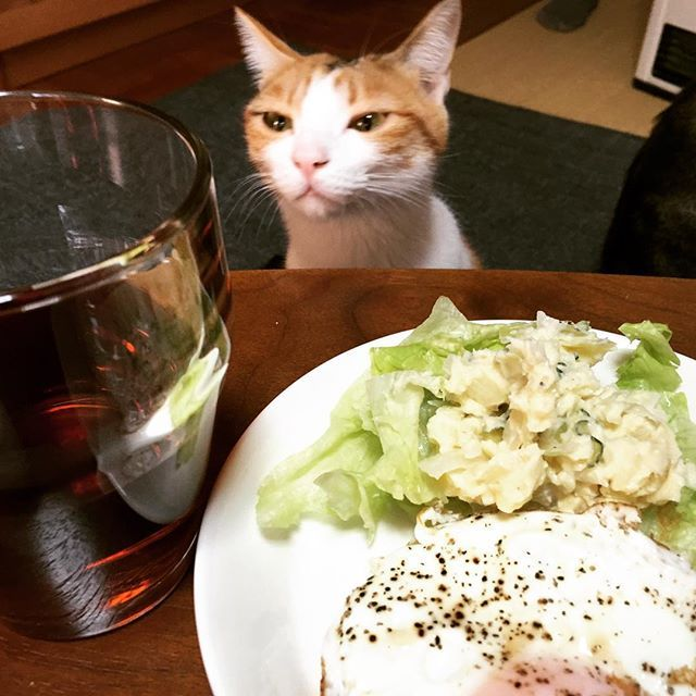 とうちゃんの朝ごはんは目玉焼きか…  #マリー #三毛猫 #猫 #愛猫 #朝ごはん #目玉焼き #クンクン #人のご飯を狙わないで #自分のカリカリは残すのに #お年頃の女の子 #少食 #にゃんすたぐらむ #にゃんだふるらいふ #猫との生活 #猫のいる暮らし #猫の幼稚園出身 #4月23日は猫チャリティーコンサートの日