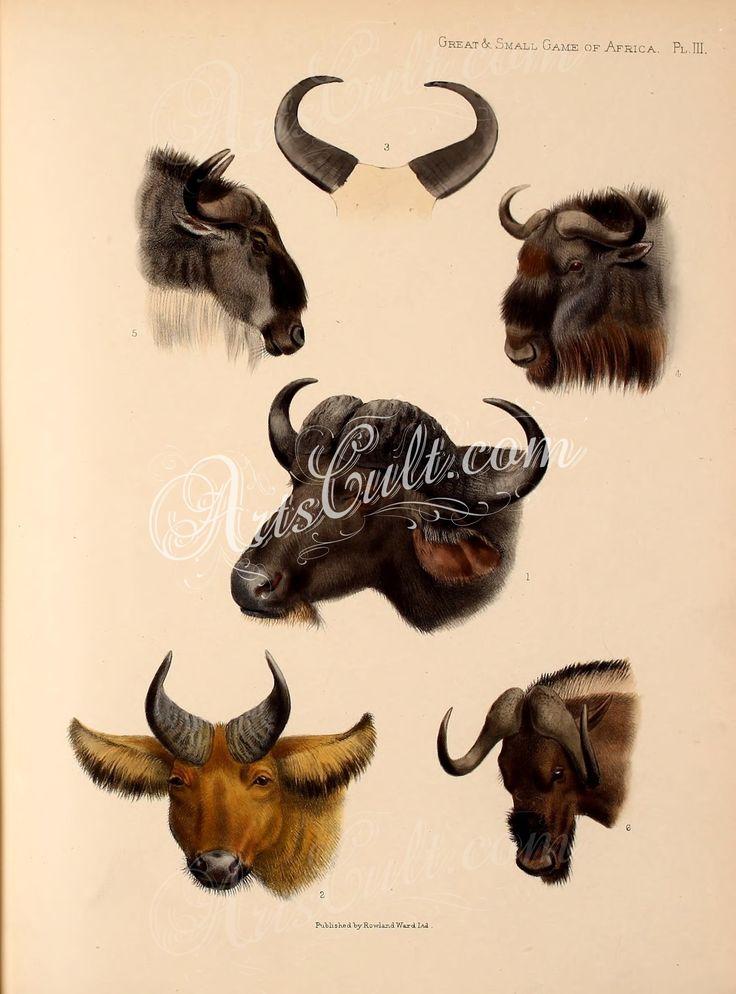 Cape Buffalo, Congo Buffalo, Lake Tchad Buffalo Horns, Brindled Gnu, White-bearded Gnu, White-tailed Gnu   ...
